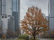 9th Nov 2020 - Tree in the city