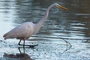 9th Nov 2020 - LHG-4326- Great Egret at shamrock Lake