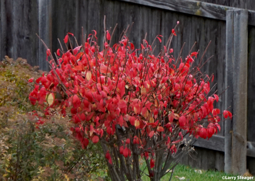 Burning bush by larrysphotos