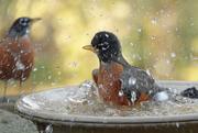 9th Nov 2020 - Robin bathing