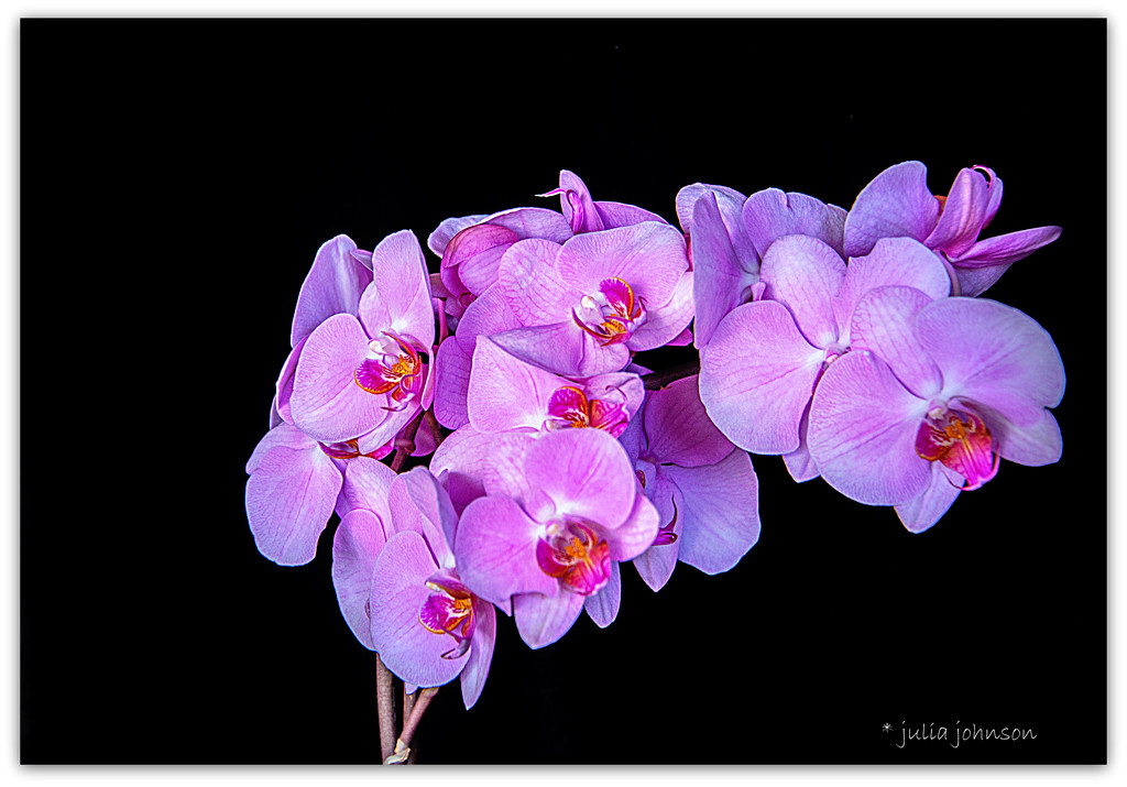 Moth Orchid by julzmaioro