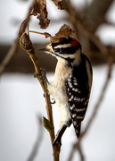 9th Nov 2020 - Downy woodpecker