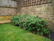 8th Nov 2020 - Fuchsia hedge