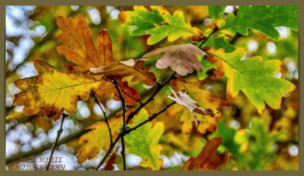 Autumn Leaves And Bokeh by carolmw