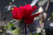 10th Nov 2020 - My little rose bud bloomed
