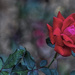 Rose From Above by k9photo