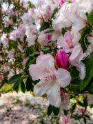 10th Nov 2020 - Rhododendron