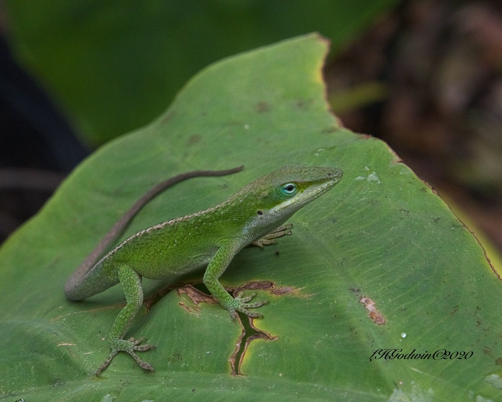 LHG-4376- Green Anole by rontu