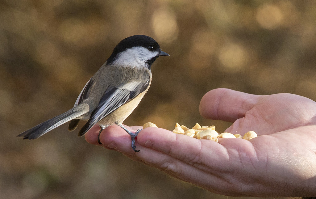Black-capped Chickadee by pdulis