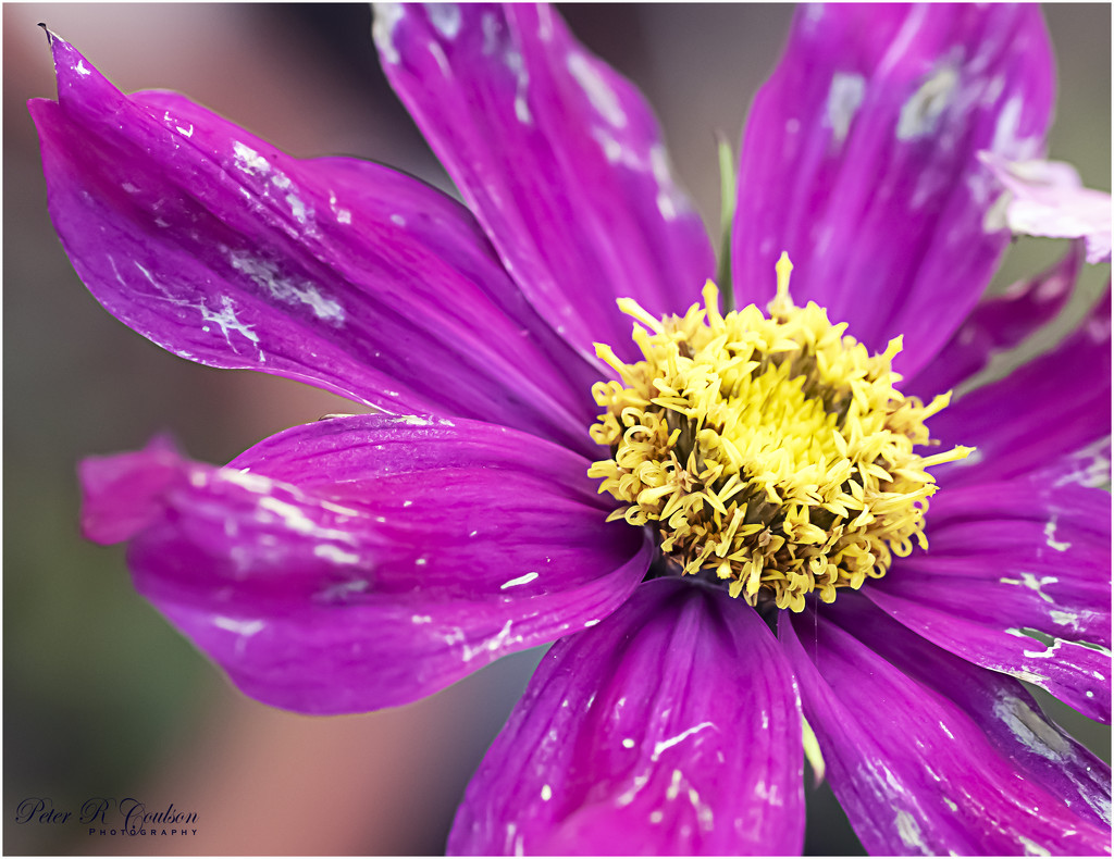 Dying Flower by pcoulson