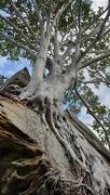 8th Nov 2020 - Tree growing on rock