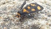 7th Nov 2020 - Tiger moth