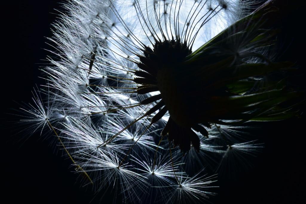 The Last Dandelion by jayberg