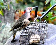 10th Nov 2020 - Another Northern Flicker came...
