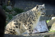 8th Nov 2020 - Momma Snow Leopard
