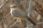 31st Oct 2020 - Female Vermilion Flycatcher