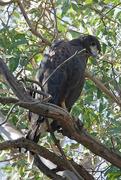 1st Nov 2020 - Harris's Hawk