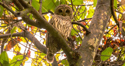 10th Nov 2020 - Barred Owl With Eye's Open!