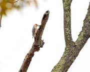 10th Nov 2020 - Red-bellied Woodpecker prepping for winter