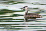 11th Nov 2020 - Young Australasian crested grebe