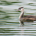 Young Australasian crested grebe by maureenpp