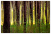 11th Nov 2020 - ICM pine trees
