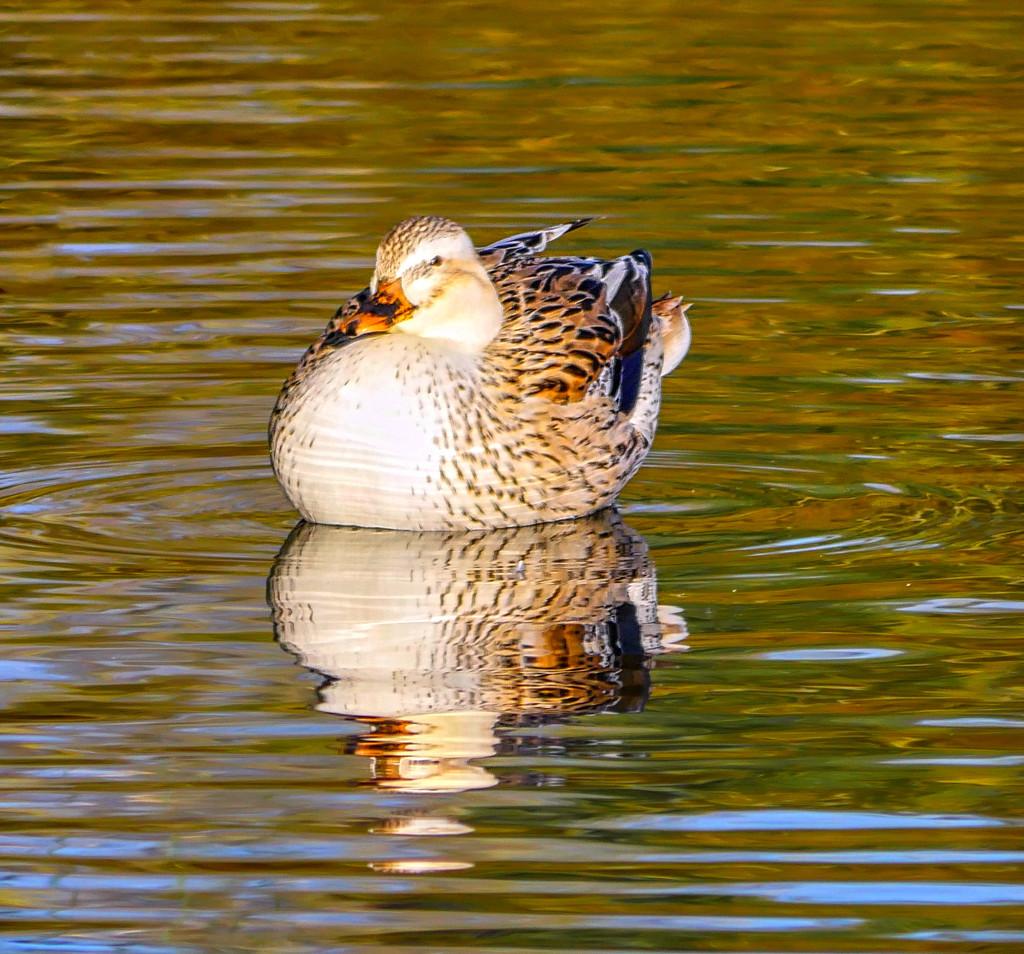 Autumn Duck. by tonygig