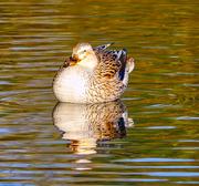 11th Nov 2020 - Autumn Duck.