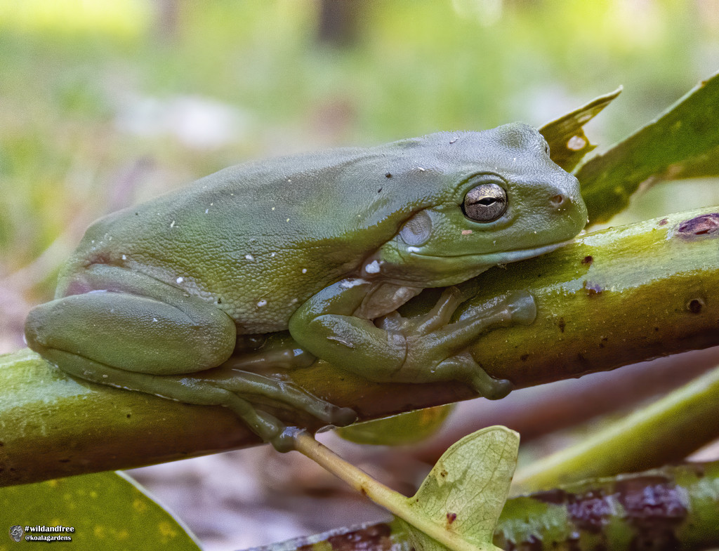 happy as a frog on a branch by koalagardens