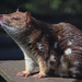Spotted-tail Quoll