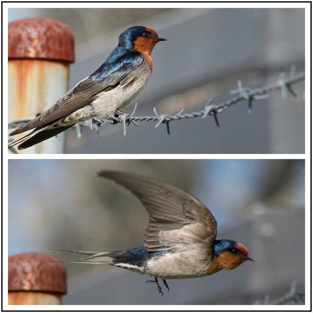 Swallow by nzkites
