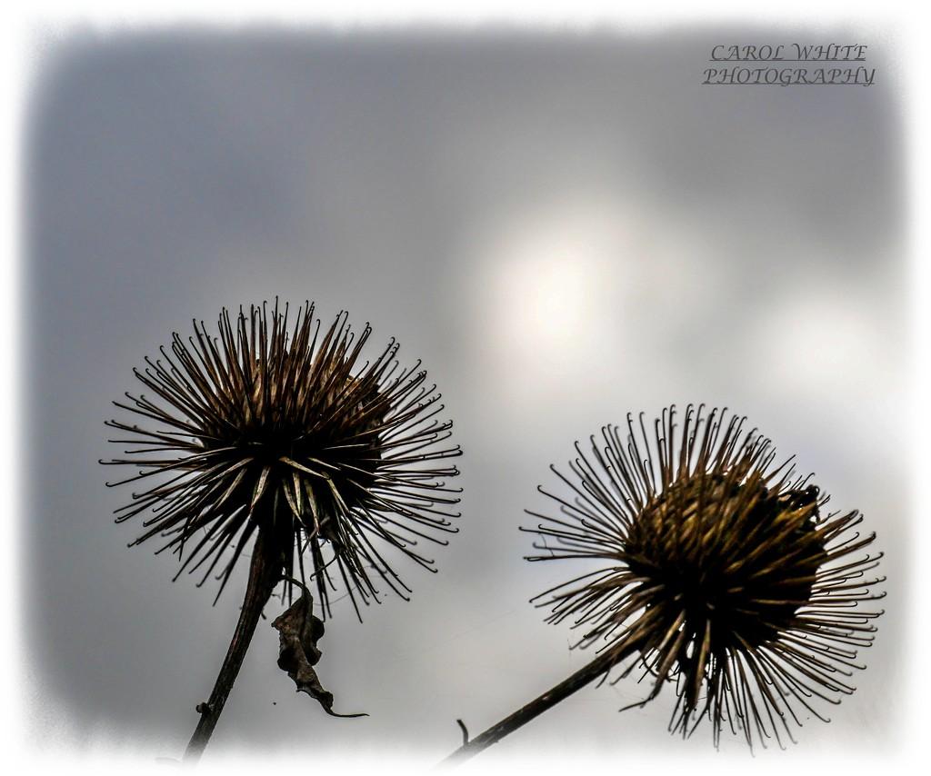 Prickly Seed Heads by carolmw