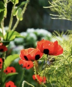 11th Nov 2020 - My Grandfather's poppies.