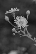 11th Nov 2020 - Flower in B&W...