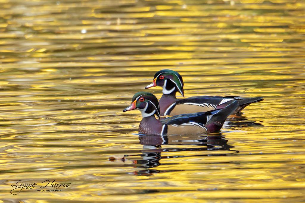 Two Wood Ducks by lynne5477