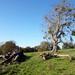 9th Nov Mistletoe Tree