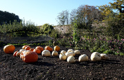 11th Nov 2020 - 11th Nov Pumpkins II