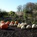 11th Nov Pumpkins II