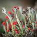 Lichens by haskar