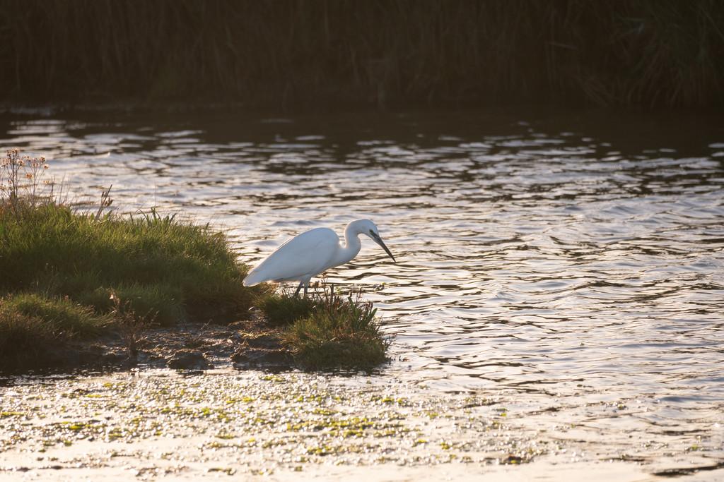 Egret by humphreyhippo
