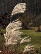 11th Nov 2020 - Grasses