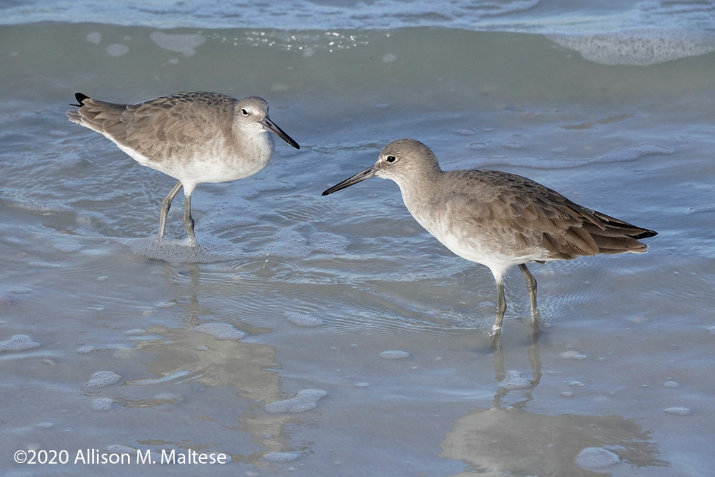 Willet Pair by falcon11