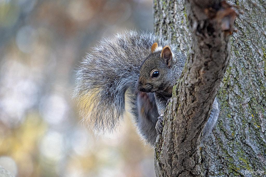 Grey Squirrel by fayefaye