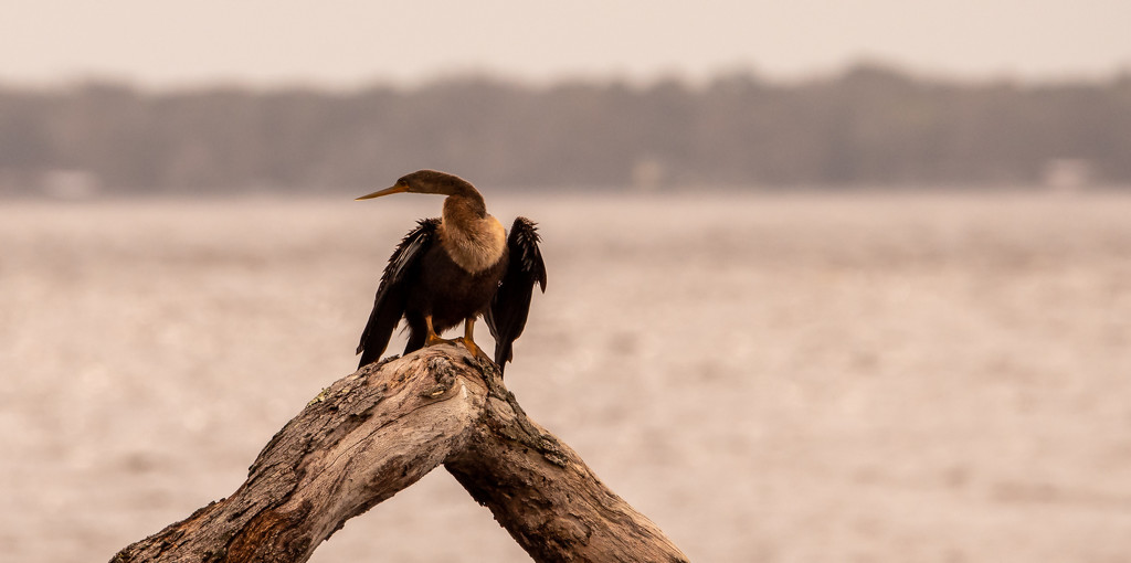 Anhinga Drying Out! by rickster549