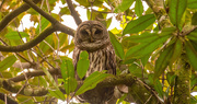 11th Nov 2020 - Barred Owl in a Different Tree!