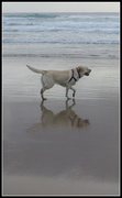 12th Nov 2020 - Not only surfers, but dogs too!! Coolum Beach series