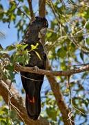 12th Nov 2020 - Red Tailed Black Cockatoo PB120265