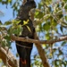 Red Tailed Black Cockatoo PB120265 by merrelyn