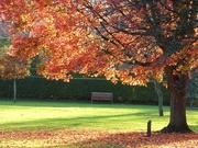 12th Nov 2020 - Canadian Maple Tree