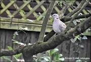 12th Nov 2020 - Little dove